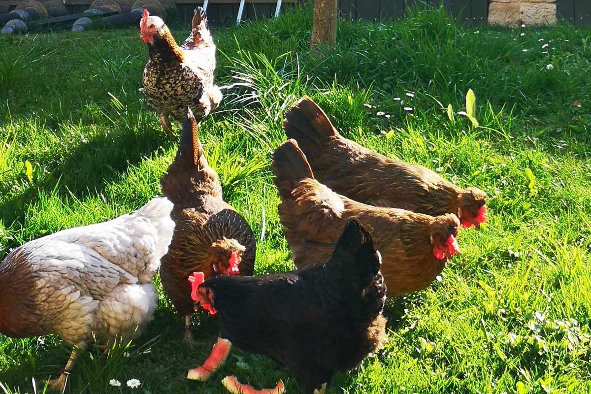Hühnerfamilie im Grünen