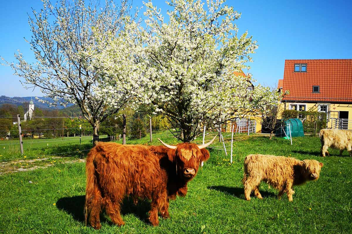 Rinder vor Obstbäumen