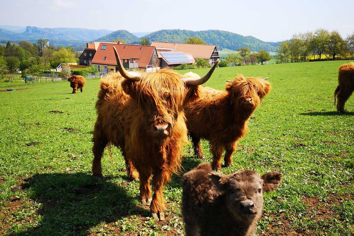 Rinderfamilie auf der Weide