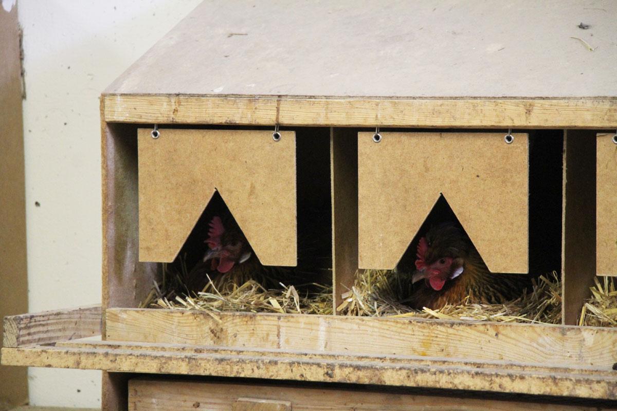 Legenester im Hühnerstall